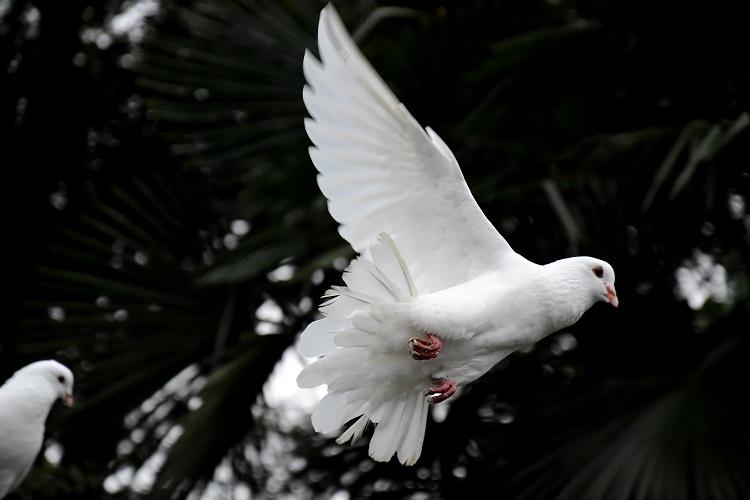 A Soft White Dove